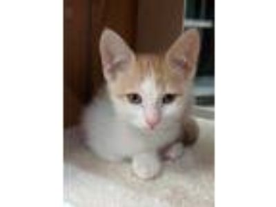 Adopt Rowdy a Orange or Red Domestic Shorthair / Domestic Shorthair / Mixed cat