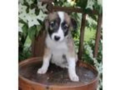 Adopt Andies a Shetland Sheepdog / Sheltie, Mixed Breed