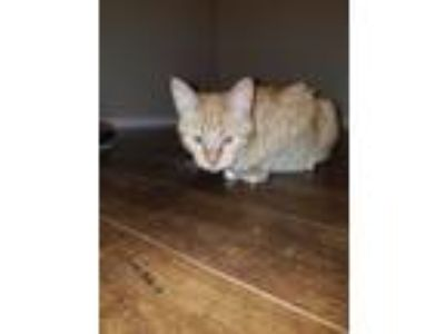 Adopt Lucky a Orange or Red Tabby American Shorthair (short coat) cat in Cibolo