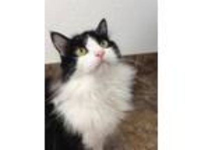 Adopt Lola a Black & White or Tuxedo Domestic Longhair / Mixed (long coat) cat