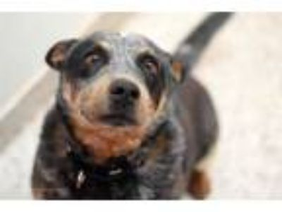 Adopt JASPER* a Australian Cattle Dog / Blue Heeler