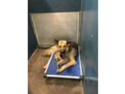 Adopt 41666243 a Brown/Chocolate German Shepherd Dog / Mixed dog in Fort Worth