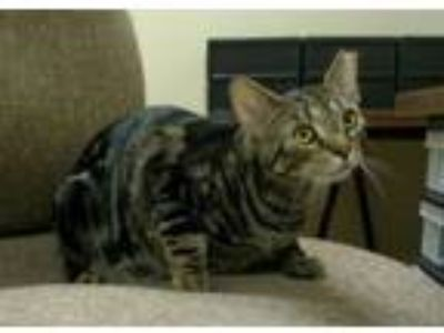 Adopt Timea (bonded with Pepper) a American Shorthair, Tabby