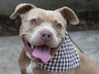 Adopt CARLY a Tan/Yellow/Fawn American Pit Bull Terrier / Mixed dog in Pasadena