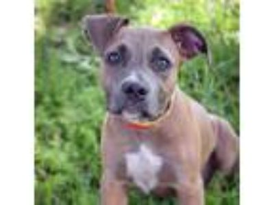 Adopt Lallie a Gray/Silver/Salt & Pepper - with Black Pit Bull Terrier / Mixed