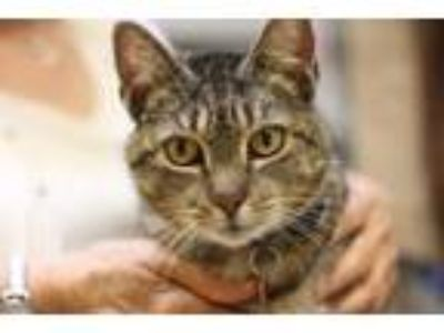 Adopt Tolly a Domestic Short Hair