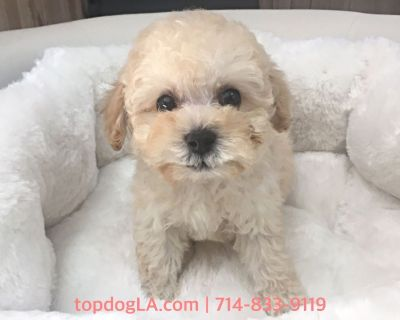 Maltipoo Puppy - Male - Tank ($1,250)