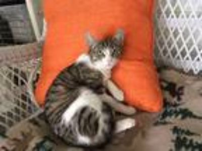 Adopt Isabella a Gray, Blue or Silver Tabby American Shorthair (short coat) cat