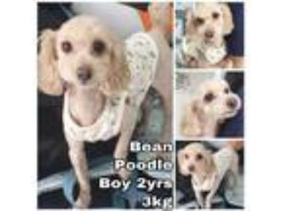 Adopt Bean from Korea a Tan/Yellow/Fawn Toy Poodle / Mixed dog in Seattle