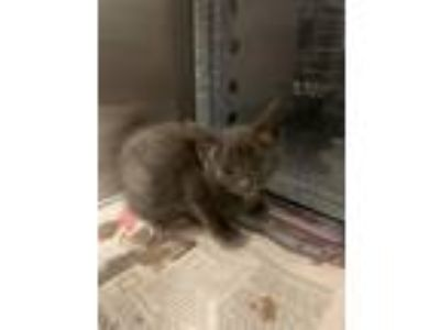 Adopt Moon a Domestic Medium Hair