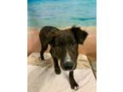 Adopt PAISLEY a Black German Shorthaired Pointer / Mixed dog in Tangent