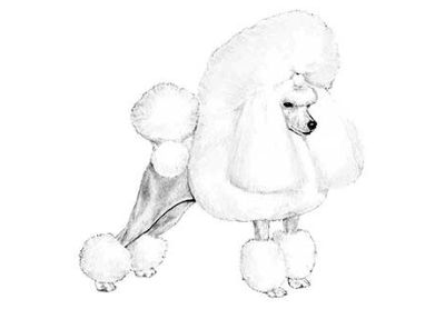 White Miniature Poodle Puppies