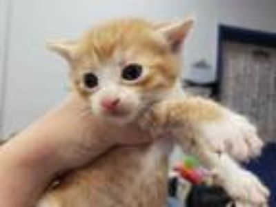 Adopt FERGUSON a Orange or Red Tabby Domestic Shorthair / Mixed (short coat) cat