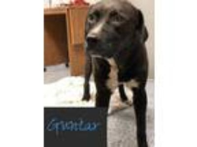 Adopt GUNTAR a Black Labrador Retriever / Mixed dog in Pickens, SC (23648138)