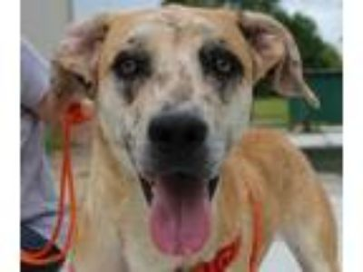 Adopt Hunter a Catahoula Leopard Dog, Hound