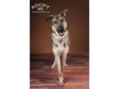 Adopt Toby a German Shepherd Dog
