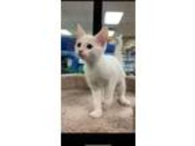 Adopt Lydia a White Domestic Shorthair (short coat) cat in Kennesaw