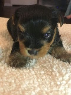 Yorkshire Terrier PUPPY FOR SALE ADN-64922 - Male Yorkie