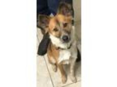 Adopt Cooper a Australian Shepherd, Cattle Dog