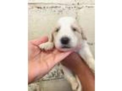 Adopt Stark a Great Pyrenees