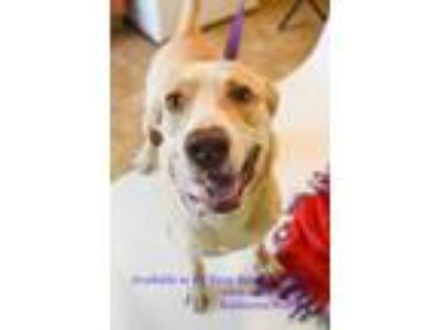 Adopt Monty a Yellow Labrador Retriever, Mixed Breed