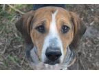 Adopt HONEY a Tricolor (Tan/Brown & Black & White) Hound (Unknown Type) / Mixed