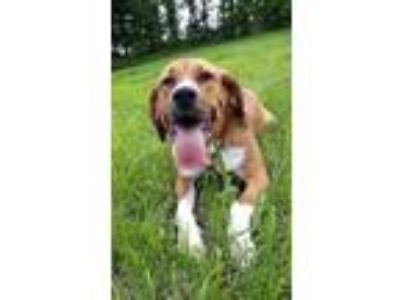 Adopt Bali a Hound (Unknown Type) / Mixed dog in Barrington, RI (25329405)