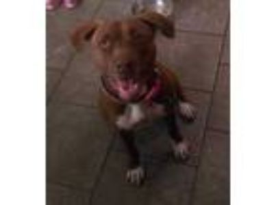 Adopt Annie a Red/Golden/Orange/Chestnut Pit Bull Terrier / Mixed dog in Tucson