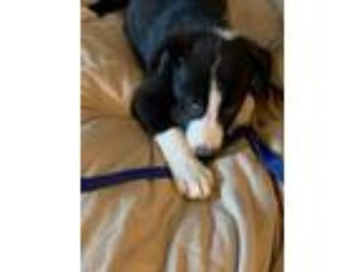 Adopt Largo Star a Black - with White Labrador Retriever / Carolina Dog dog in