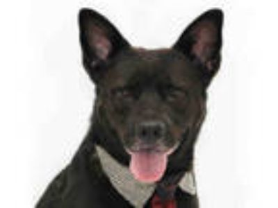 Adopt TOBY a Black - with White Labrador Retriever / Mixed dog in Orlando