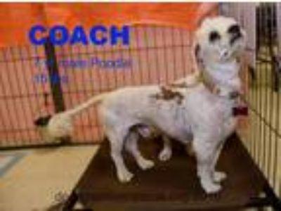 Adopt Coach a Bichon Frise, Poodle