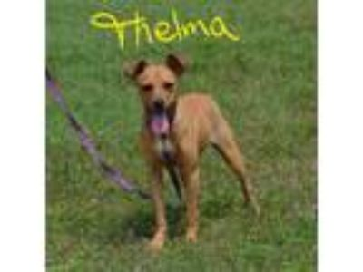 Adopt Thelma a Red/Golden/Orange/Chestnut Shepherd (Unknown Type) / Mixed dog in