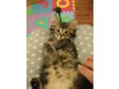 Adopt Tommy a Domestic Longhair / Mixed cat in Ferndale, MI (25339749)