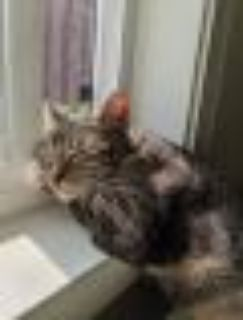 Q Tabby - Exotic Shorthair Cat