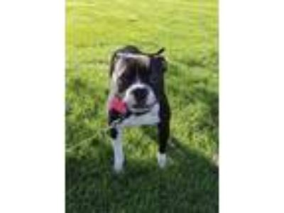 Adopt Bentley a Black - with White Boxer / Boston Terrier / Mixed dog in Joliet