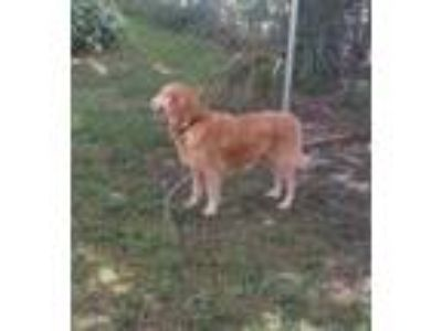 Adopt Mayah a Golden Retriever