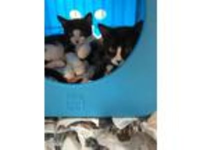 Adopt Corey & Archie (Siblings) a Domestic Short Hair