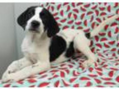 Adopt Lilac a Labrador Retriever, English Springer Spaniel