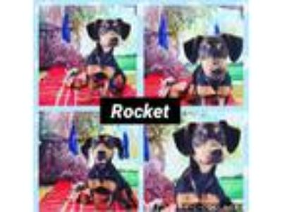 Adopt Rocket a Black - with Tan, Yellow or Fawn Dachshund / Mixed dog in