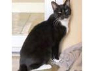 Adopt Miles a Domestic Shorthair cat in Fredericksburg, TX (22809945)