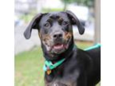 Adopt BJ a Black Labrador Retriever / Mixed dog in Atlanta, GA (23638226)