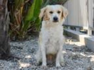 Adopt Baxter a White - with Tan, Yellow or Fawn Spaniel (Unknown Type) / Poodle