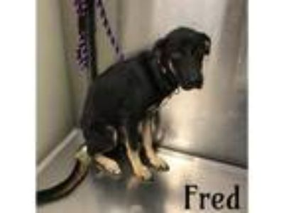Adopt FRED a German Shepherd Dog, Mixed Breed