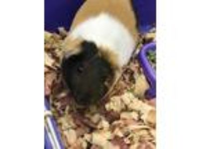 Adopt Olie a Brown or Chocolate Guinea Pig / Guinea Pig / Mixed small animal in