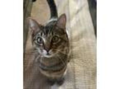 Adopt Sandy a Domestic Short Hair