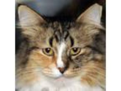 Adopt Zula a Domestic Long Hair