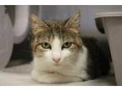 Adopt ANGEL a Brown Tabby Domestic Shorthair / Mixed (short coat) cat in Ocala