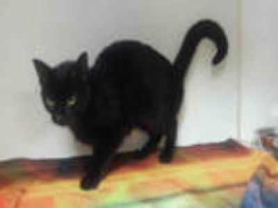 Adopt MADONNA a All Black Domestic Shorthair / Mixed (short coat) cat in