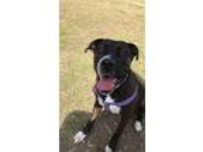 Adopt Nova a Black - with White American Staffordshire Terrier / Labrador