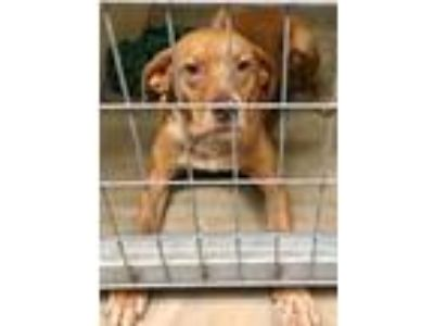 Adopt Claudette a Tan/Yellow/Fawn Mountain Cur / Mixed dog in Boston